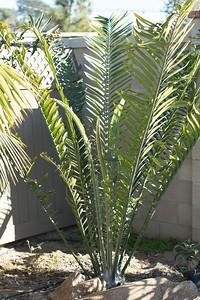 Encephalartos Laurentianus with a new winter set of leaves. 2/01/2015 Leucadia garden
