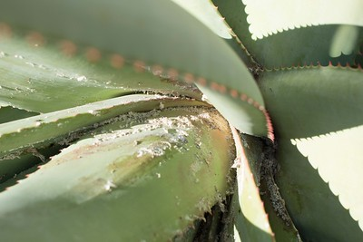 Aloe, view into the heart of the infestation.
