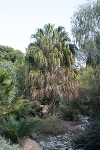 Livistonia species palm