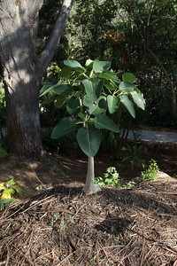 Rock Fig, native to Baja California and mainland Mexico