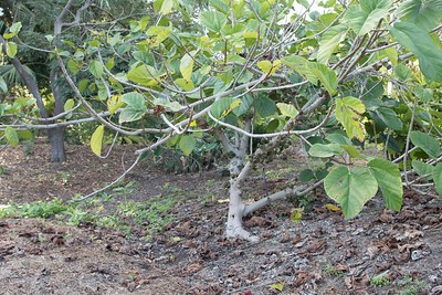 Ficus ?? with figs on trunk