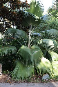 Pritchardia with extra large leaves