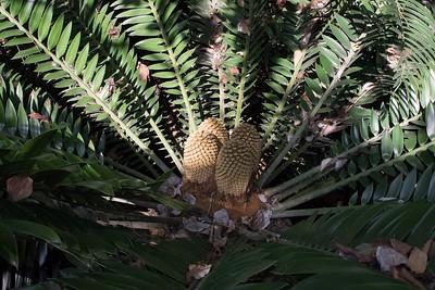 Encephalartos natalensis with cone