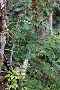 Ficus unidentified