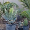 Copernicia baileyana with assorted palms and cycads