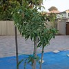 Mango tree planted.  Alfonso's Mango from India