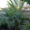 Pygmy date palm with Dypsis lutescens behind