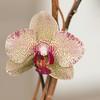 Phaleonopsis orchid