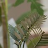 Encephalartos arenarius x latifrons 8/26/2015
