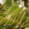 Zamia furfuracea leaves