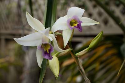 Laelia anceps orchid