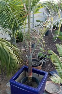 """Dypsis hybrid palm """"Tri-bear"""" leptichosis x decaryi"""