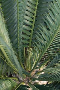 Encephalartos natalensis x horridus hybrid cycad flushing.