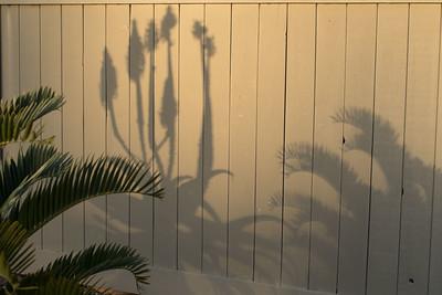 Encephalartos longifolius and aloe shadows seem to be fighting.