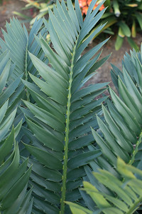 Encephalartos arenarius x woodii, hybrid cycad 4/08/2015