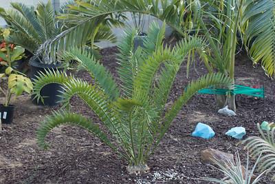 Encephalartos horridus x woodii, cycad hybrid