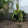 Ficus dammaropsis finally transplanted into the ground with Dypsis lutescens palm clump