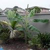 """Banana with Burretiokentia hapala palm behind and Dypsis """"Tri-bear"""" palm seedling in front"""