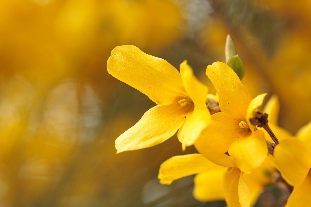 Yellow forsythia flowers blooming in early spring.