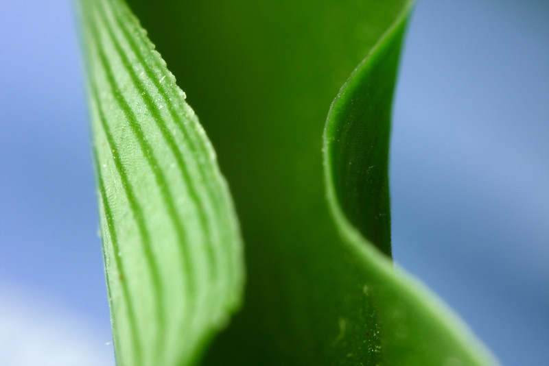 The folded leaf of a spider plant.