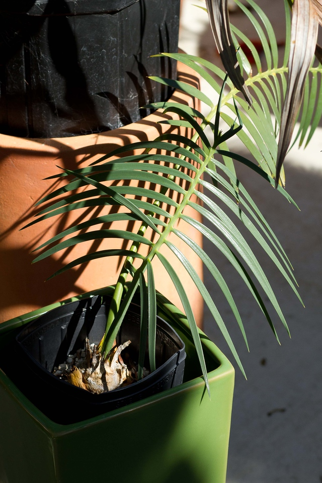 Cycad collection & some Palms 8-06-2014