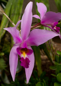 Orchid flower, Laelia Anceps a late November early December bloomer