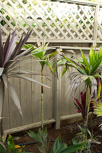 Dypsis mirabillis removed from a 5 gallon or less pot.  7 gallon plant still in the pot to the right foreground.
