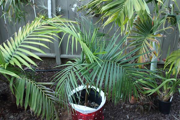 Palm for Christmas Shireen
