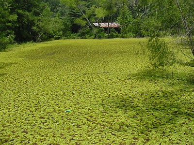 Salvinia Private Pond, Montgomery County, Texas.