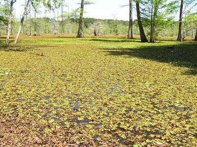 Giant Salvinia, North Toledo Bend WMA, Texas.