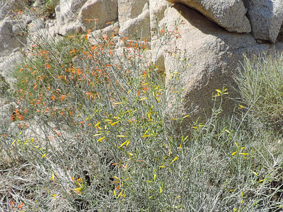Chuparosa (Justicia californica) ACANTHACEAE