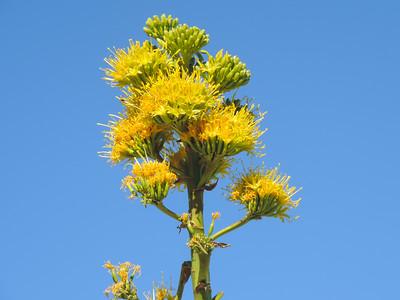 Desert Agave  (Agave deserti) AGAVACEAE