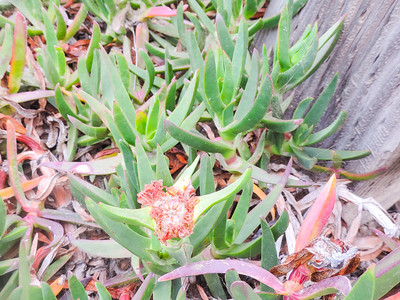 Hottentot Fig (Carpobrotus edulis) AIZOACEAE
