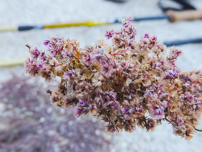 Fringed Amaranth (Amaranthus fimbriatus) AMARANTHACEAE