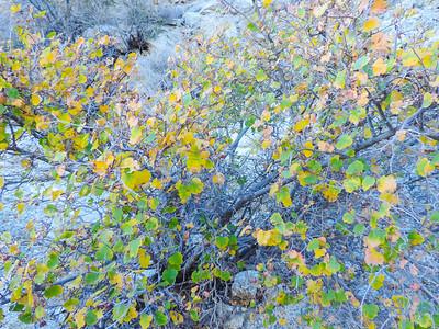 Simple-leaved Skunkbush (Rhus aromatica var. simplicifolia) ANACARDIACEAE