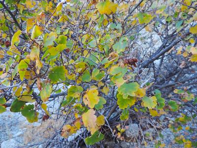 Rhus aromatica var. simplicifolia; Simple-leaved Skunkbush