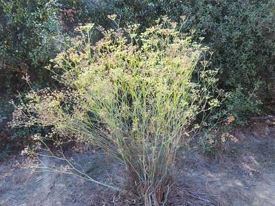 Fennel (Foeniculum vulgare) APIACEAE