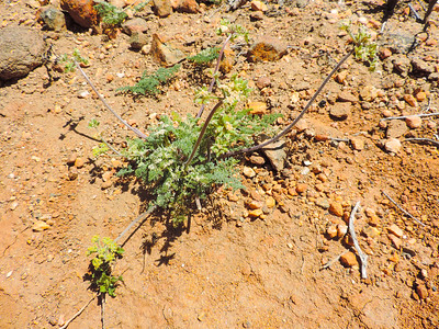 Woolly Lomatium  (Lomatium dasycarpum) APIACEAE