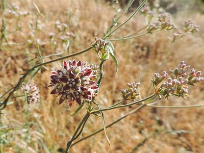 Climbing Milkweed (Funastrum cynanchoides) APOCYNACEAE