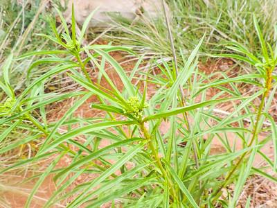 Narrow-leaved Milkweed (Asclepias fascicularis) APOCYNACEAE
