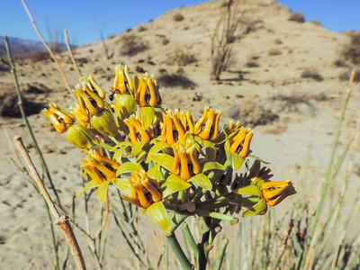 Rush Milkweed aka Coachwhip Milkweed  (Asclepias subulata) APOCYNACEAE