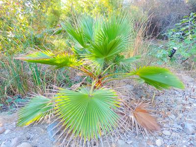 Mexican Fan Palm  (Washingtonia robusta) ARECACEAE