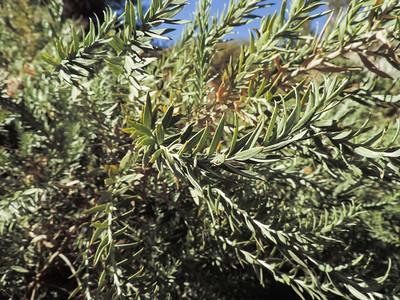 Arrowweed  (Pluchea sericea) ASTERACEAE