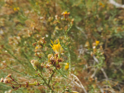 Boundary Goldenbush (Ericameria brachylepis)  ASTERACEAE