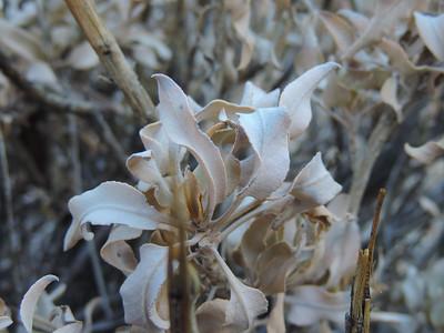 Brittlebush (Encelia farinosa)