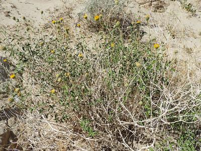 Button Brittlebush (Encelia frutescens) ASTERACEAE
