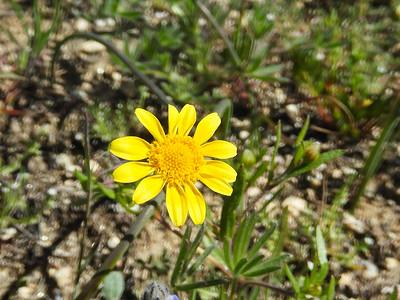 California Goldfields (Lasthenia gracilis) ASTERACEAE