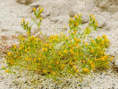 Cinchweed (Pectis papposa) ASTERACEAE