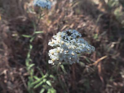Common Yarrow (Achillea millefolium)ower