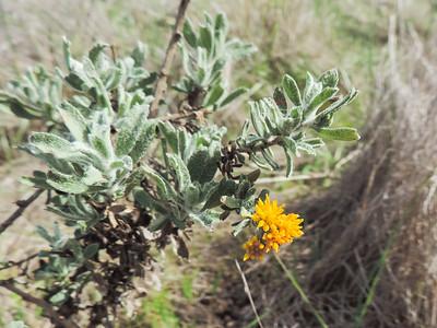 Decumbent Goldenbush (Isocoma menziesii var. decumbens) ASTERACEAE
